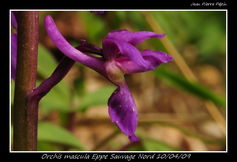 Orchis mascula ( Orchis mâle ) Orc_ma13