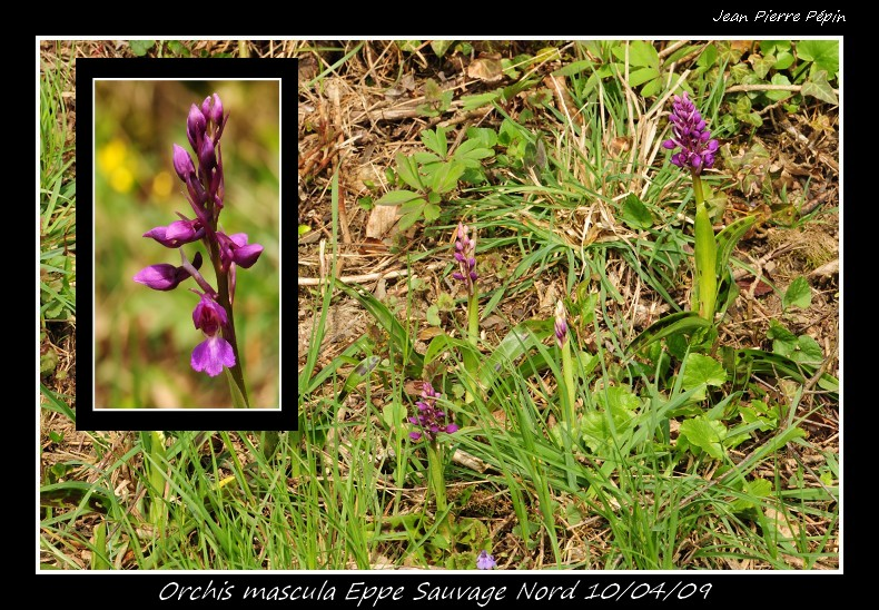 Orchis mascula ( Orchis mâle ) Orc_ma15