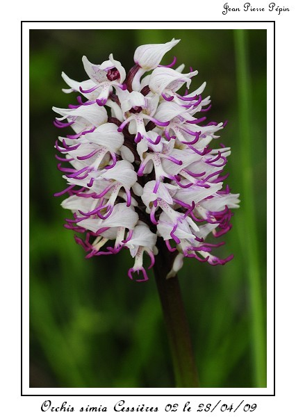 orchis simia ( Orchis singe ) Orc_si11