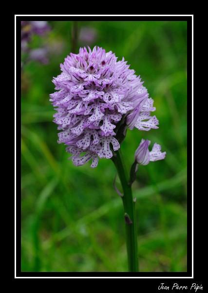 Neotinea tridentata ( Orchis tridenté ) Orc_tr10