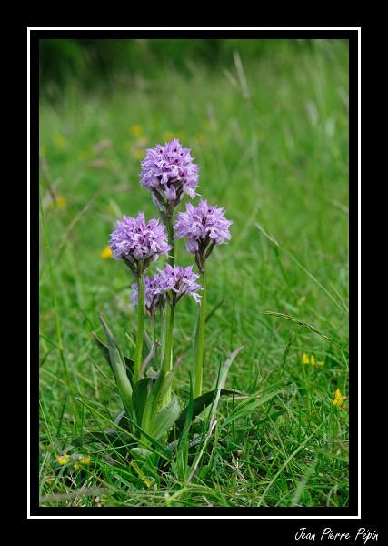 Neotinea tridentata ( Orchis tridenté ) Orc_tr11