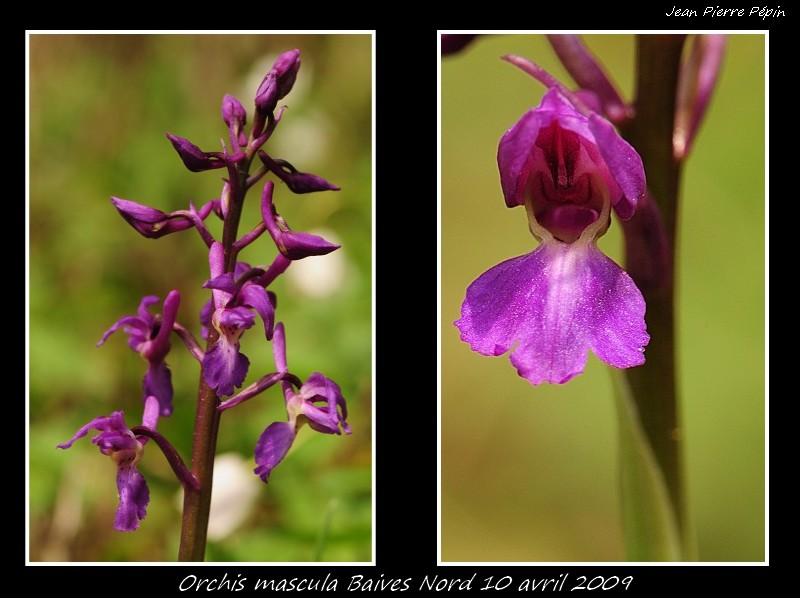 Orchis mascula ( Orchis mâle ) Sans_t13