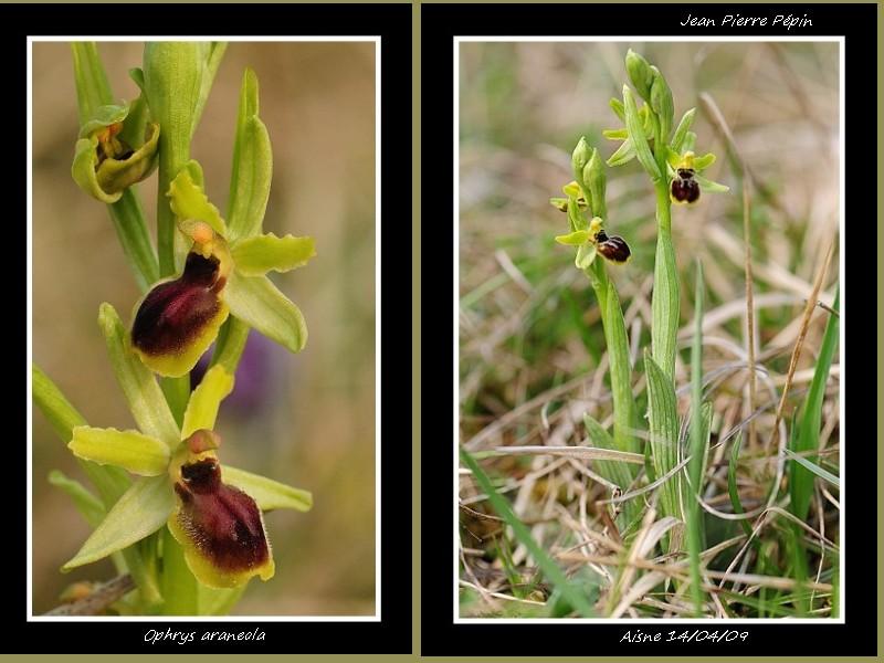 Ophrys litigiosa ( araneola ) Sans_t14