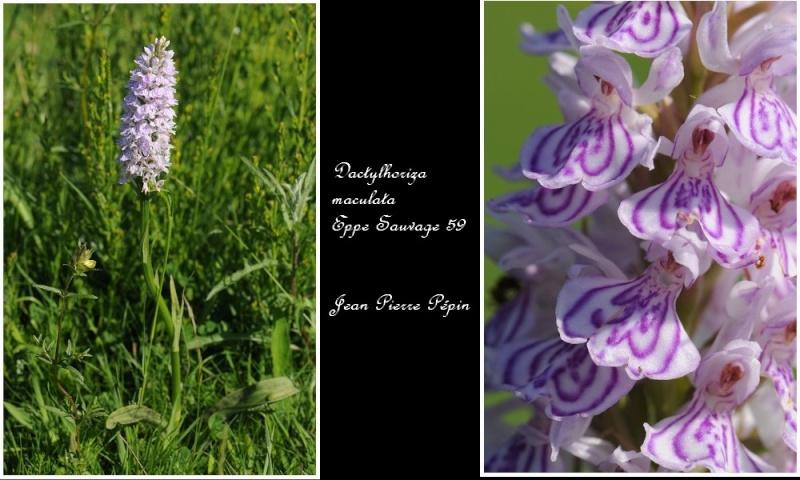 Dactylorhiza maculata ( Orchis maculé ) Sans_t21
