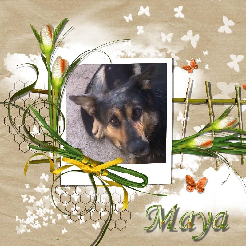 MAYA(croisée berger allemand) Maya1010