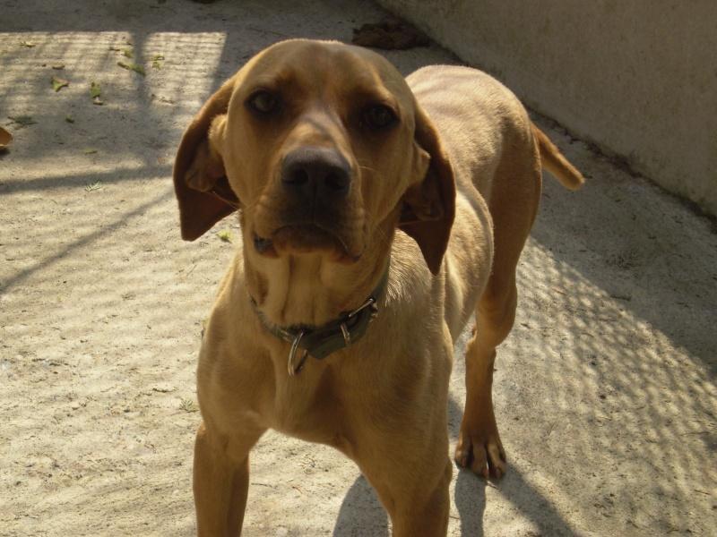 DOMINO (labrador/braque) P4130014