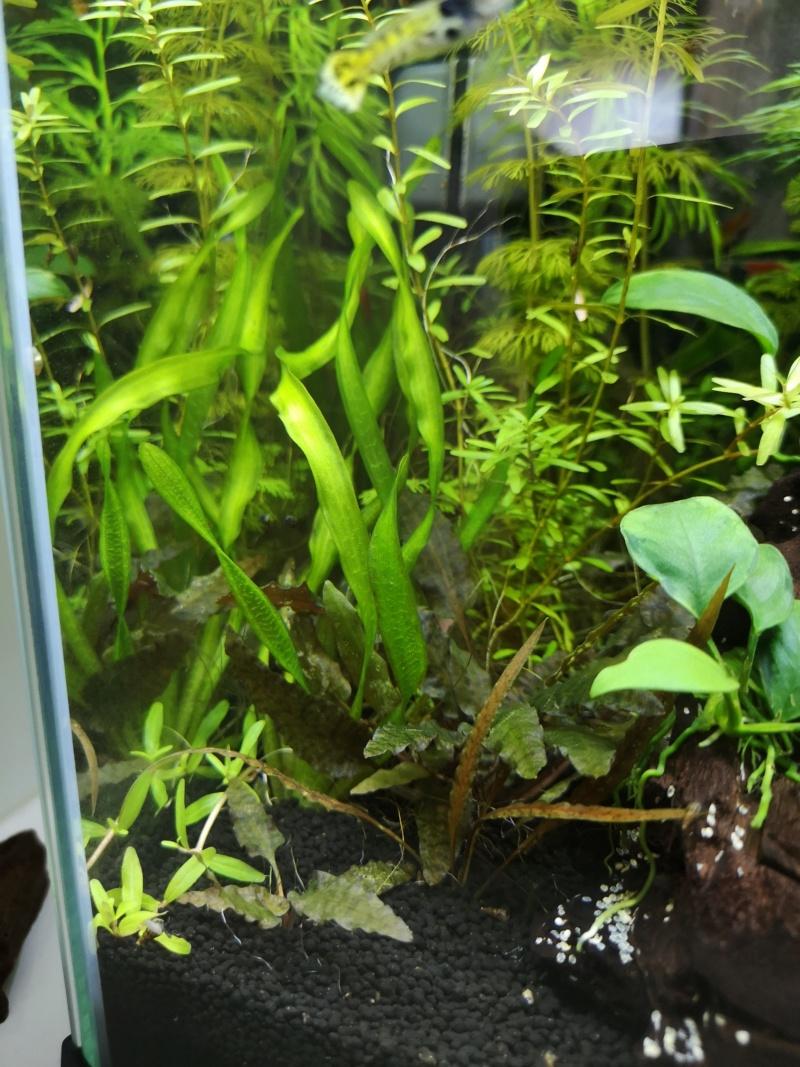 Problème pousse Rotala Rotundifolia Img_2038