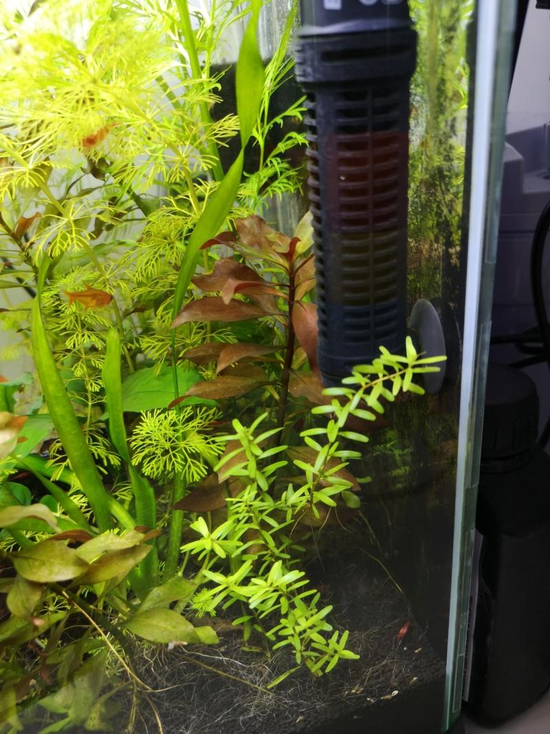 Problème pousse Rotala Rotundifolia Img_2039