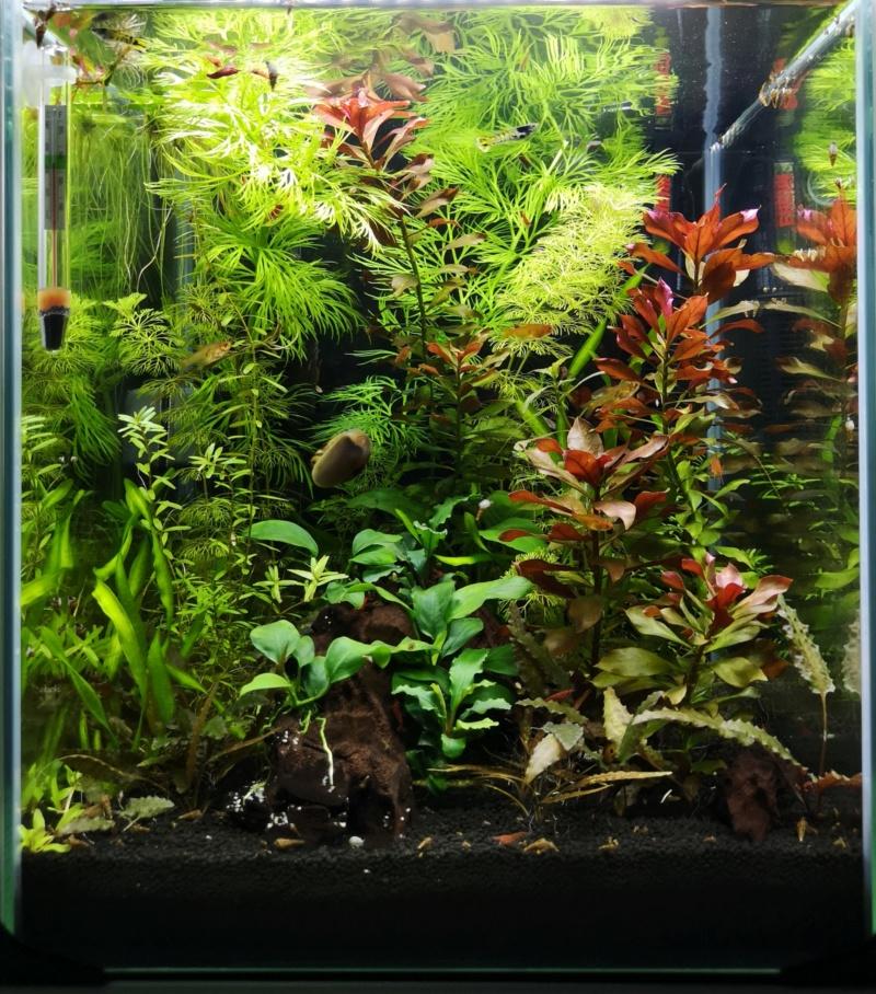 Problème pousse Rotala Rotundifolia Img_2041