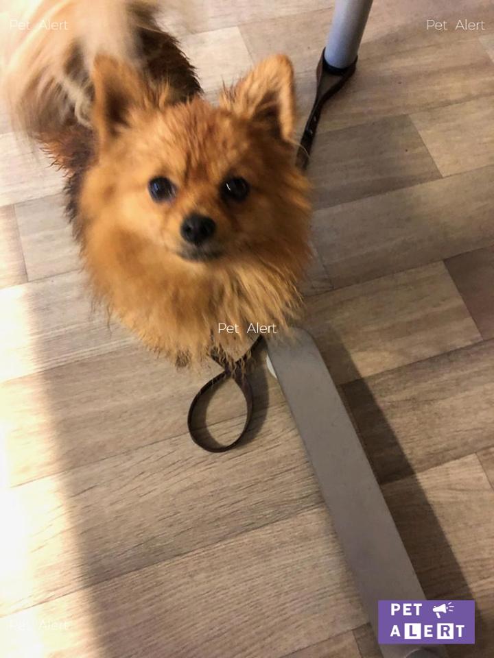 """TROUVÉ """"Noirot"""" chien Spitz Allemand à SAÂCY-SUR-MARNE-30/10/18 45131910"""