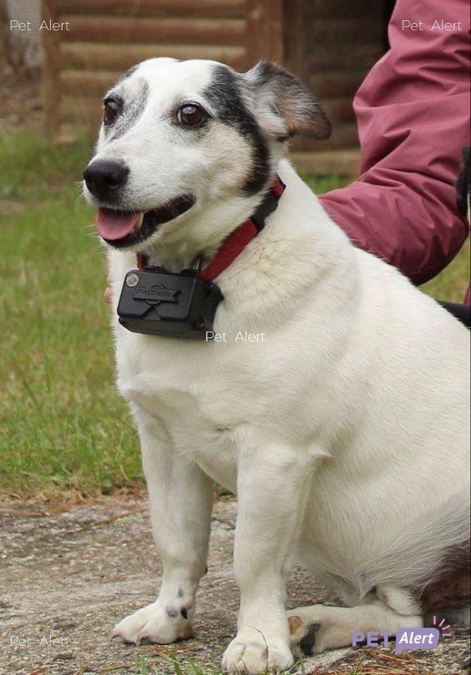 PERDU MODJO chien Jack Russell Terrier à PAVANT 80297510