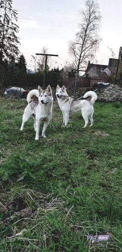 PERDUES 2 chiennes Husky Sibérien à JAULGONNE............RETROUVEES 80329410