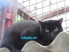 Les Chats en attente de parrainage Charlo10