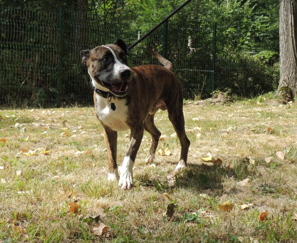 RILEY.Mâle Boxer x Bull terrier de 2015 Mercr120
