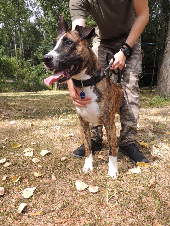RILEY.Mâle Boxer x Bull terrier de 2015 Mercr128