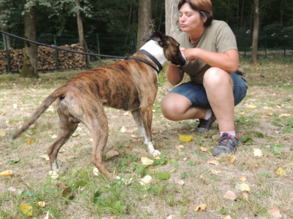 RILEY.Mâle Boxer x Bull terrier de 2015 Mercr131