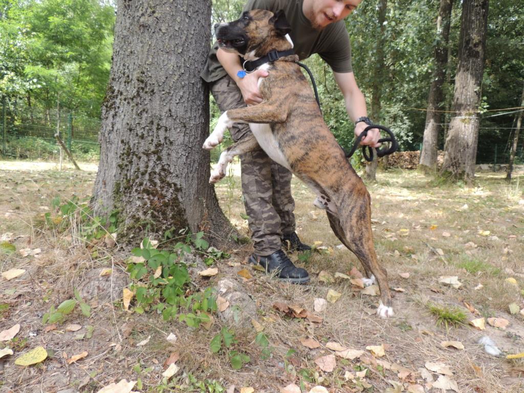 RILEY.Mâle Boxer x Bull terrier de 2015 Mercr133
