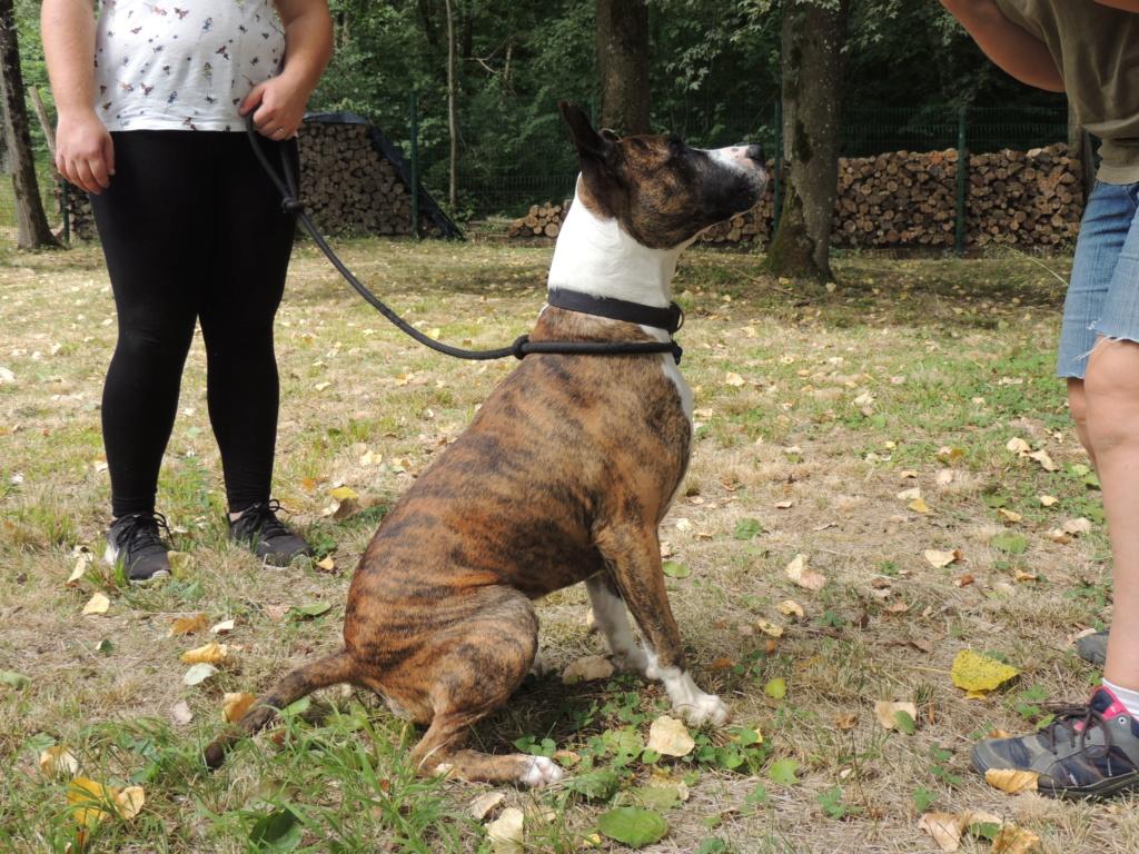 RILEY.Mâle Boxer x Bull terrier de 2015 Mercr135