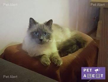 """PERDU """"Miko"""" chat type Sacré de Birmanie à MONTREUIL AUX LIONS le 6 sept 2018,....... rentré Miko10"""