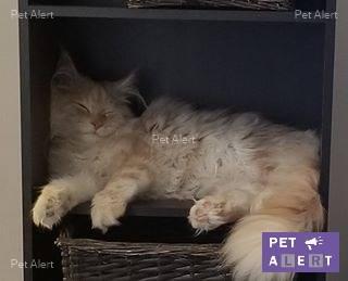 """PERDU """"Nel"""" chat tigré roux et blanc Maine Coon à CHARLY SUR MARNE........................retrouvé Nel10"""