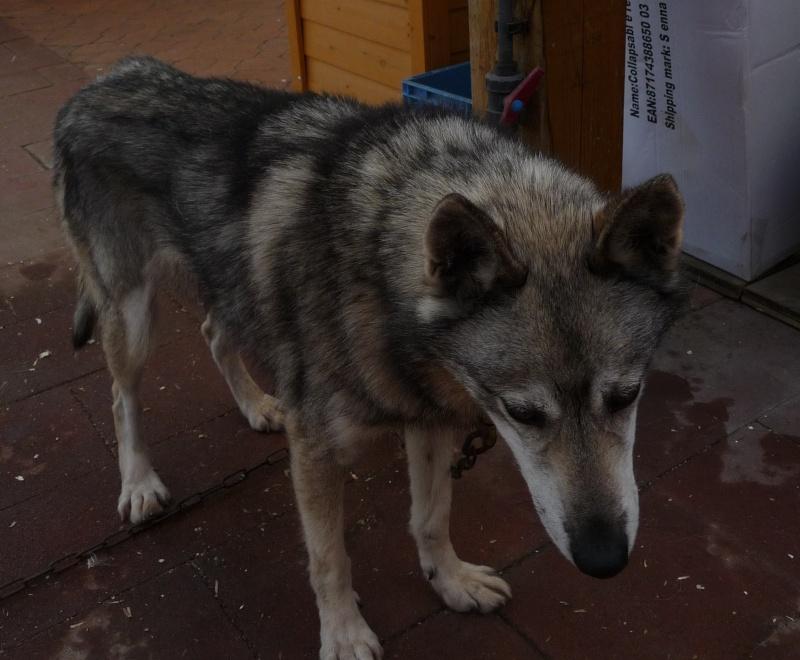PIIA femelle husky  11 ANS CHEZ KEERO 45  ADOPTEE Journa44