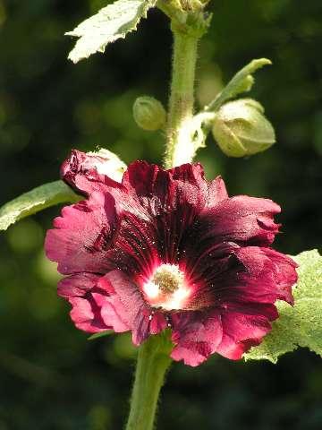 Roses trémières 17060912