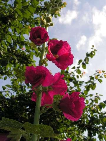 Roses trémières 17060913