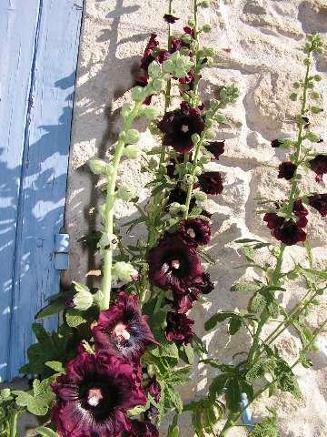 Roses trémières Pict0434
