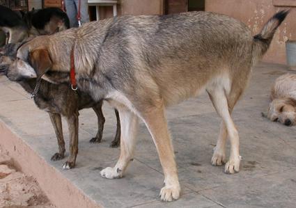 mon coup de coeur: Bounty,1 an, femelle x husky, malformation patte Bambou11