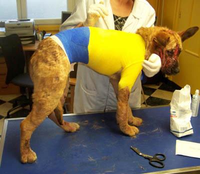 Appels aux dons pour Zia, femelle 6 mois gale surinfectée Soins-12