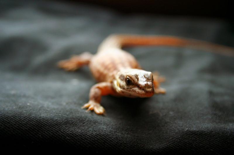 varanus ancanthurus Photo_30