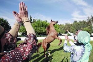 الحصان العربي (2-2) 23114410