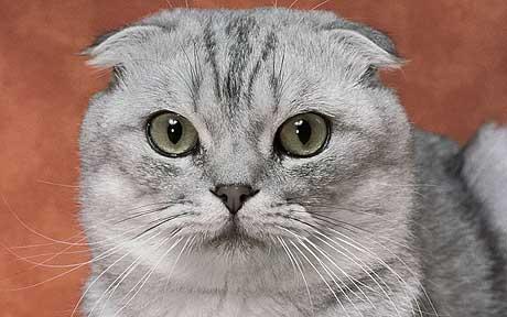 Races par sélection humaine souffrant de maladies mortelles et de deformations!!! Cat2_110