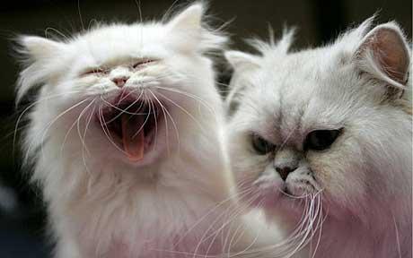 Races par sélection humaine souffrant de maladies mortelles et de deformations!!! Cat3_110