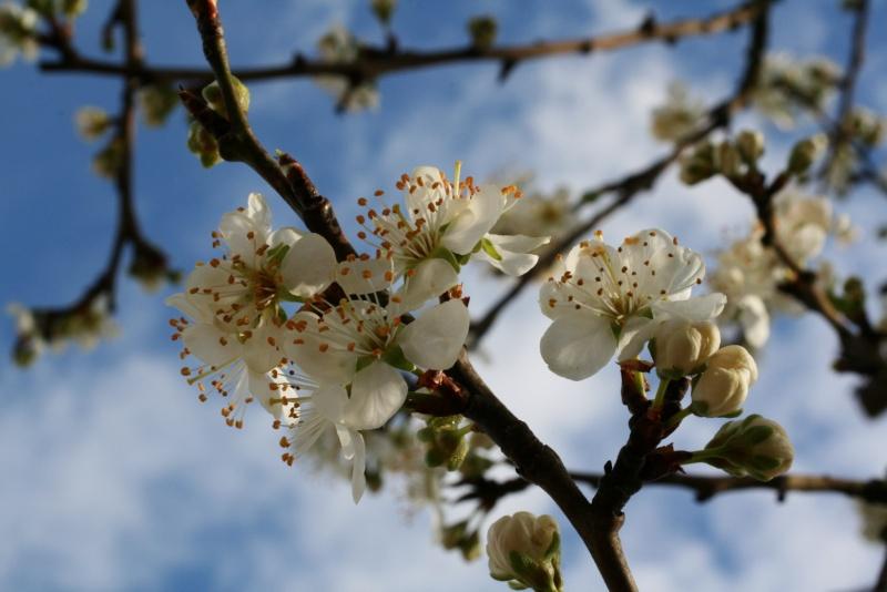 le printemps s'en vient Fleurs10