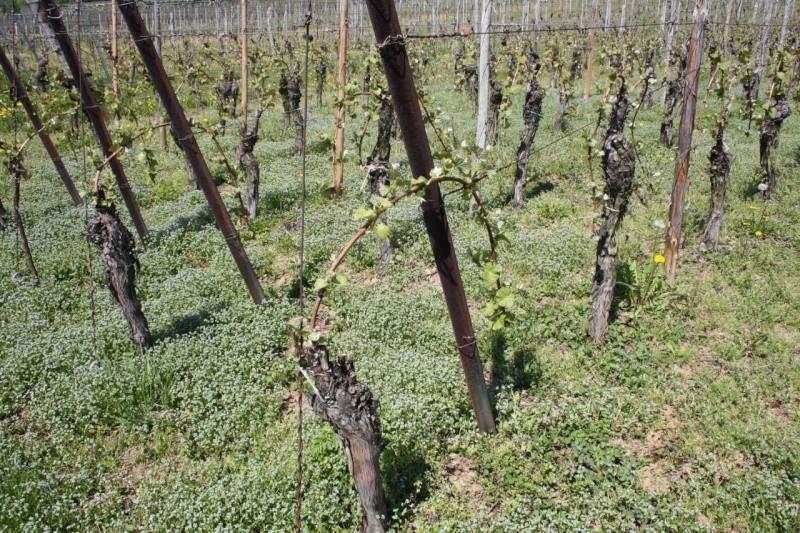 viticole - Wangen et son sentier viticole Img_0719