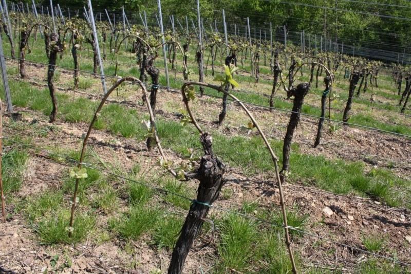 viticole - Wangen et son sentier viticole Img_0721