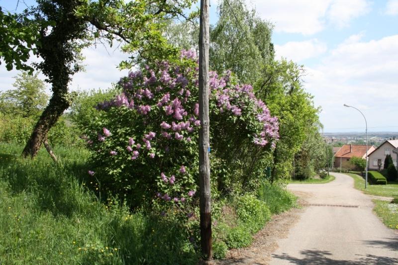 viticole - Wangen et son sentier viticole Img_0819