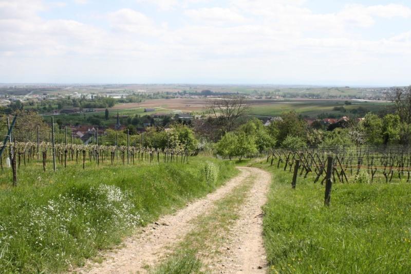 viticole - Wangen et son sentier viticole Img_0820