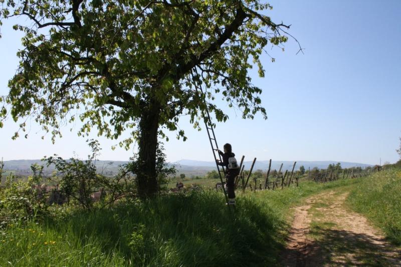 viticole - Wangen et son sentier viticole Img_0828
