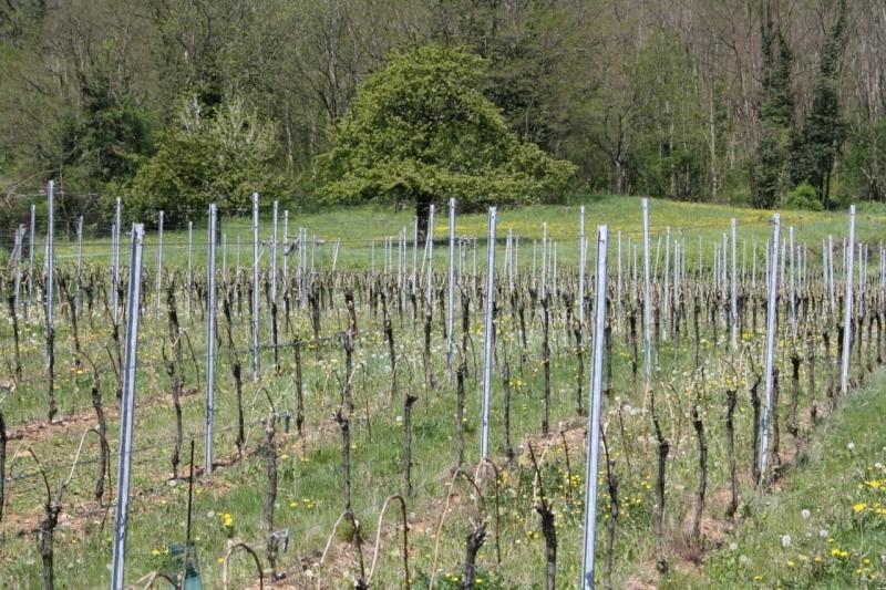 viticole - Wangen et son sentier viticole Img_0831