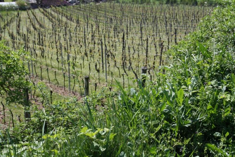 viticole - Wangen et son sentier viticole Img_0837