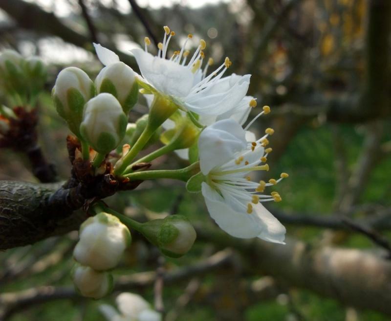 le printemps s'en vient Prunie10