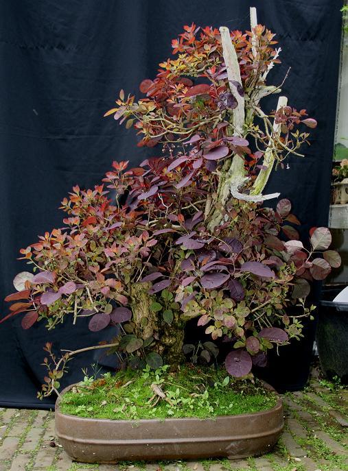 Purple Smokebush 03410
