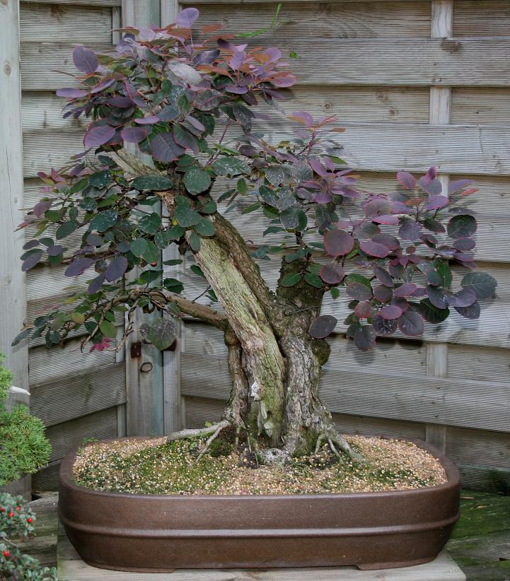 Purple Smokebush 04710
