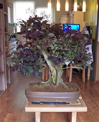 Purple Smokebush 26__2710