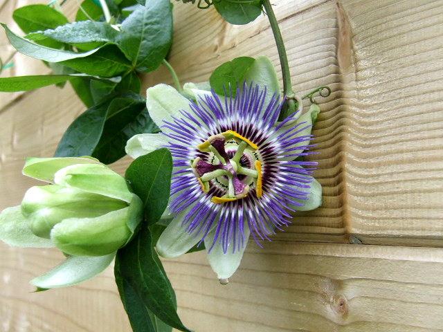 premieres fleurs 2009_021