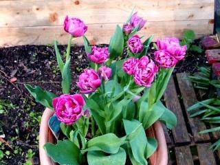 tulipes doubles 2009_024