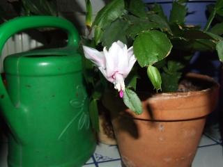 ACTU : Cactus de Noël  (Schlumbergera) 2009_140