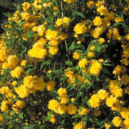 ???Arbuste a fleurs jaunes printanières Kerria10